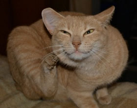 Кот трясет головой и чешет уши