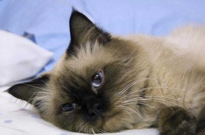 Причины рвоты кота после еды