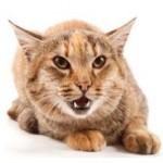 Почему кот стал агрессивным: причины и что делать