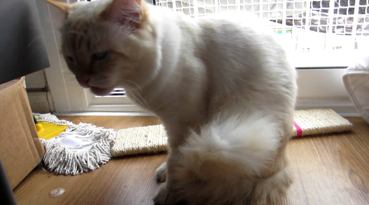 Чем лечить кота от рвоты в домашних условиях