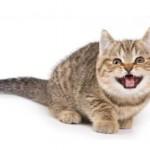 Кот орет без причины — что это может быть?