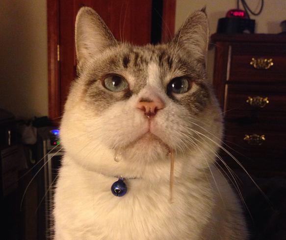 У кота текут слюни-причины