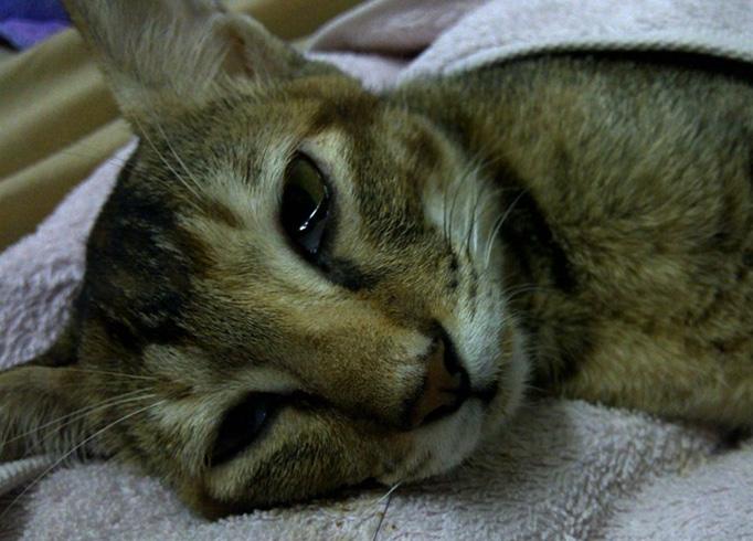 Вздутие живота у кота причины лечение