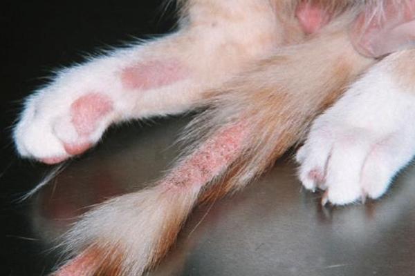 Лишай у котёнка чем лечить и как не заразиться