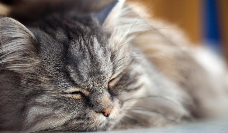 Кот с анемией лежит