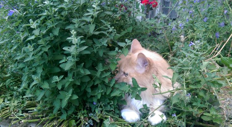 Кот и мята