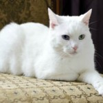Недержание мочи у кошки — причины и лечение