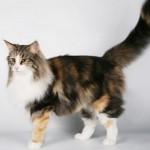 Породы котов с длинным хвостом: описание и фото