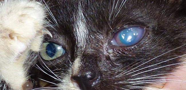 У кота на глазу пленка что делать