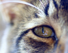 У кота закисают глаза