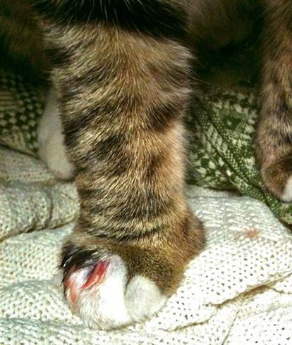 Отек ноги у кота