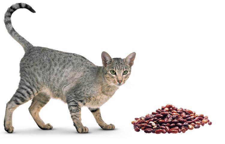 Кошка и фасоль