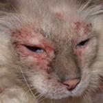 Атопический дерматит у кошек: симптомы, лечение, фото