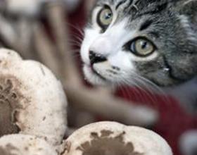 Можно ли давать кошкам грибы