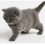 Какую кличку выбрать серой кошке (мальчику и девочке)