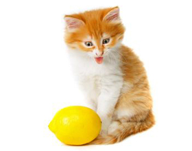 Почему коты не любят цитрусовые
