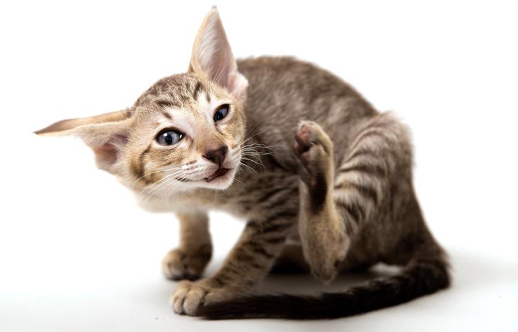 Кот сильно чешет голову