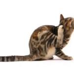 Что делать, если кот расчесывает голову до крови