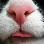 У кота холодный нос: причины и нужно ли беспокоиться