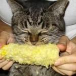 Кукуруза кошкам: можно ли давать, польза и вред