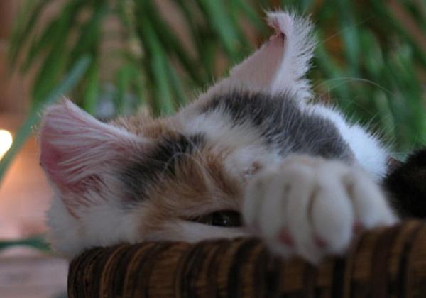 Кошка с повышенным креатенином