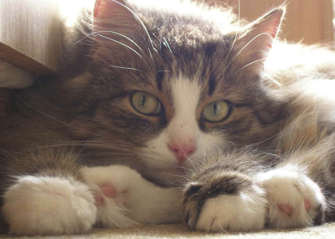 Может ли у котов быть инсульт при