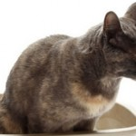 Колит у кошек: причины, симптомы, лечение и профилактика