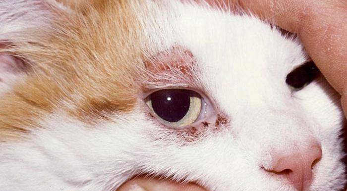 Атопический дерматит у кошки