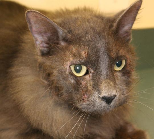 Кошка с дерматитом
