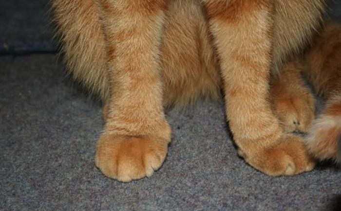 Лапка кота