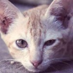 Пиометра у кошек: симптомы, лечение, фото