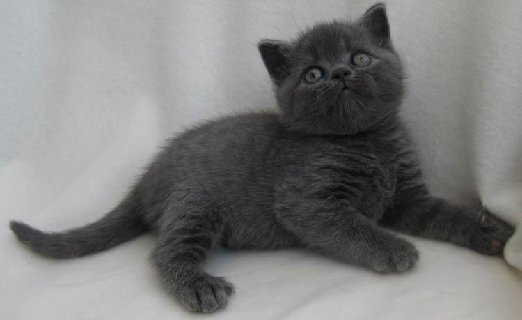 Красивый британский котенок