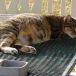Как узнать беременна ли кошка? (в домашних условиях)