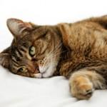 Мочекаменная болезнь у котов: симптомы, лечение и профилактика