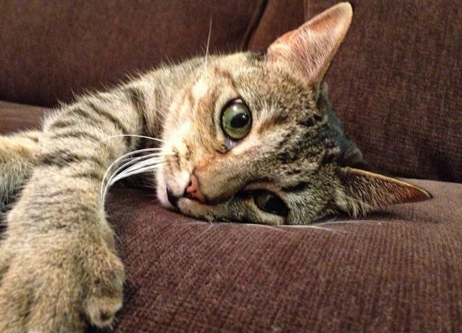 Кошачий пиелонефрит