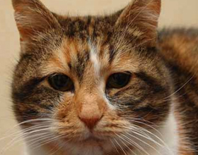Нефроз почек у кошек