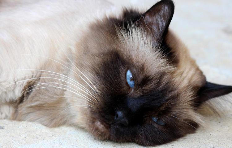 Кот с поликистозом