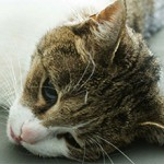 Пироплазмоз у кошек: симптомы, лечение и восстановление