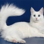 Анатолийская кошка: описание породы, характер, фото