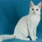 Турецкая ангора — кошка султанов и королей