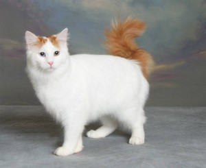 Анатолийская кошка на фотосессии
