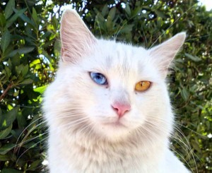 Разноцветные глаза