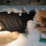 Послеоперационная попона (бандаж) для кошки: как выбрать и сделать самому