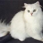 Бурмилла длинношерстная: особенности и описание породы