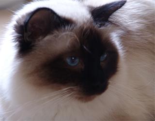 Любопытный бирманский кот