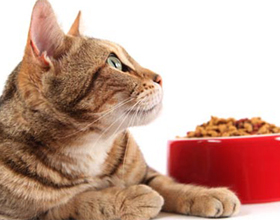 Можно ли кормить кошку собачьим кормом