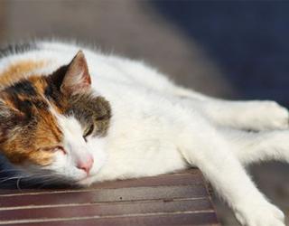 Кошка при тепловом ударе