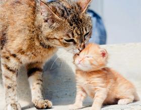 Взрослый кот и котенок