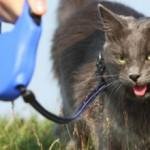 Как приучить кошку к поводку