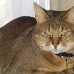 Чаузи — изящная и независимая порода кошек